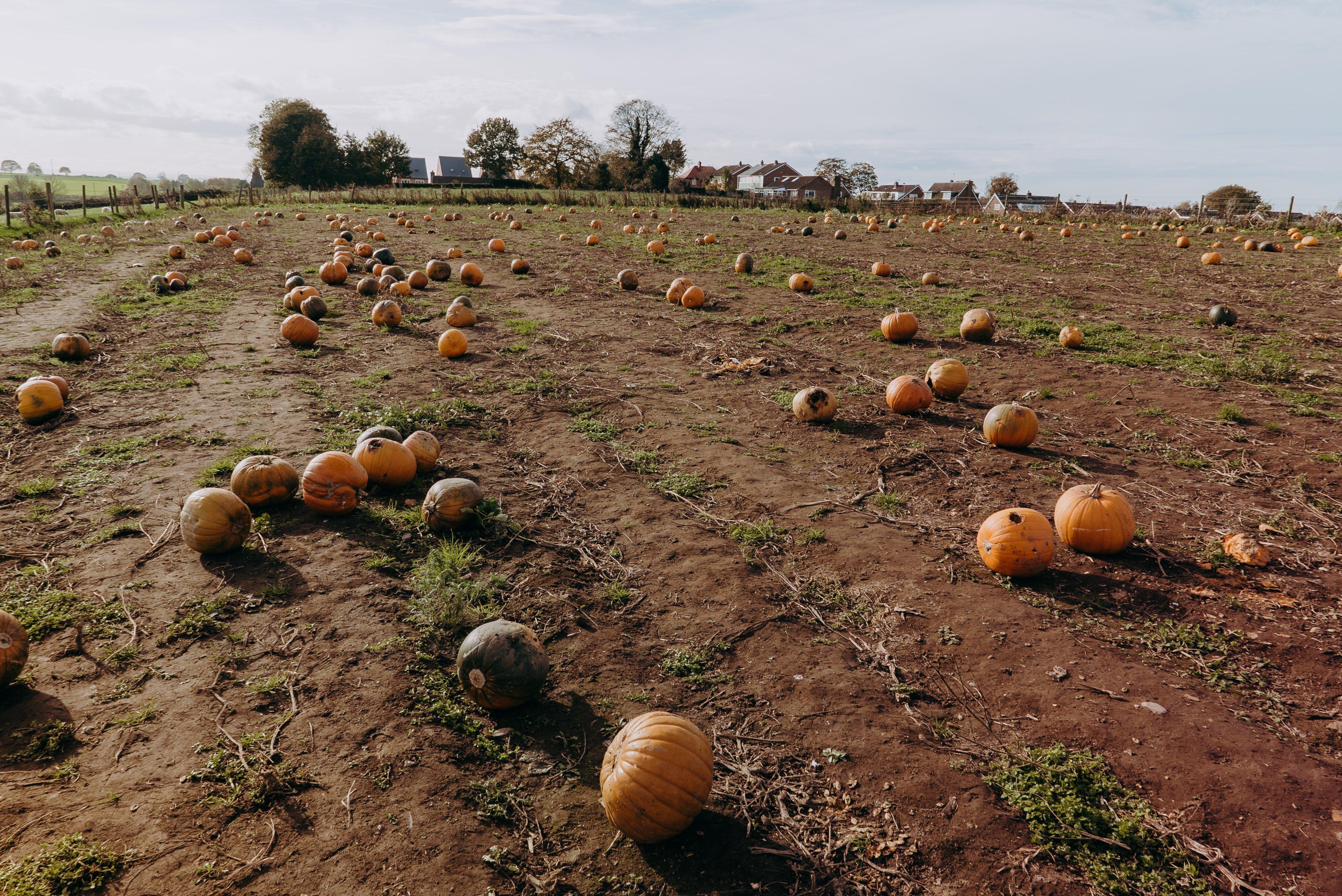Farmer Copleys Pumpkin Festival